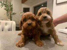 F7 Two cute Cavapoo Puppies ❤️baldsandhar@gmail.com ❤️