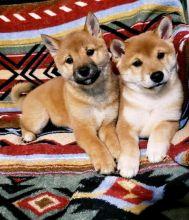 Male and Female Shiba Inu Puppies