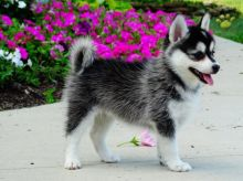 Pomsky puppies ready to go to their new homes