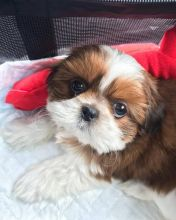 Registered Shih Tzu Puppies ready for their forever new home