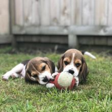 stunning Beagle puppies ready for adoption