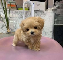 Cute and lovely poodle puppies for adoption