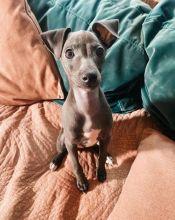 Gorgeous Italian Greyhound Puppies For Adoption. (mccauley.cauley@gmail.com)