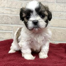 Shih Tzu puppies available (Teacup size) has been vaccinated, registered and potty trained.