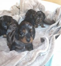 Awesome male and female Dachshund puppies