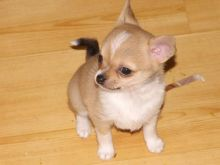 Excellence Chihuahua Puppies