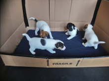 ❤️❤️ Jack Russell Terrier Puppies ❤️❤️ Girl & Boy ❤️ ❤️