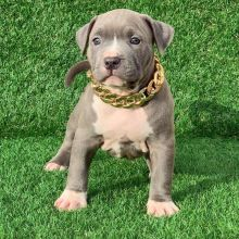 Blue nore pitbull puppies available