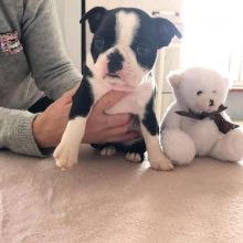 Boston Terrie Puppies For Adoption