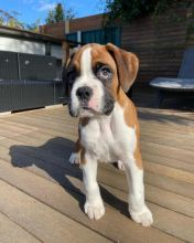 BOXER PUPPIES ARE READY TO GO TO THEIR NEW HOMES