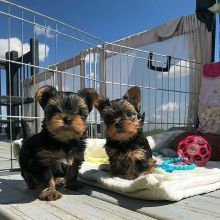 Yorkie Puppies Are Available