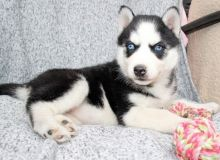 Siberian Husky puppies with blue eyes, vaccinated and well socialized Image eClassifieds4u 1