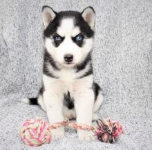Siberian Husky puppies with blue eyes, vaccinated and well socialized Image eClassifieds4u 2