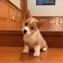 Registered Pembroke Corgi Puppies For Re-Homing