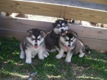 Alaskan Malamute Puppies for adoption. Call or text us @(732) 515-5611