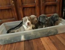 Blue nose American Pitbull terrier puppies available