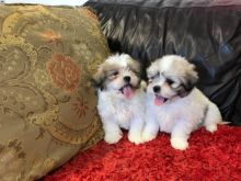Amazing Shih Tzu Puppies Available. Call or text @(786) 544-5810