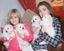 Bichon Frise Puppies Available Image eClassifieds4U