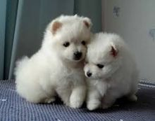 Cute Pomeranian Puppies for addoption