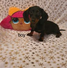 Adorable dachshund puppies??