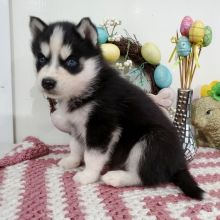 Excellent Siberian husky puppies for adoption Email US (christjohnson204@gmail.com )