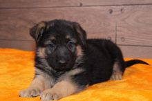 Intelligent German shepherd puppies for adoption Email US (christjohnson204@gmail.com )