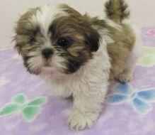 Home Raised shih tzu Puppies For Adoption Image eClassifieds4U