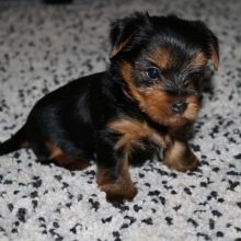Charming Yorkie puppies for adoption Email US (christjohnson204@gmail.com )