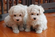 Cute And Lovely Bichon Frise Puppies For Adoption.