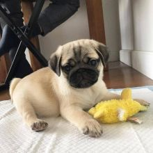 Charming Pug puppies for adoption Email US (christjohnson204@gmail.com )