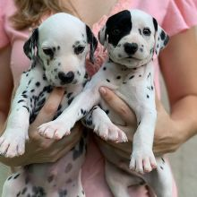 Wonderful lovely Male and Female Dalmatian Puppies for adoption
