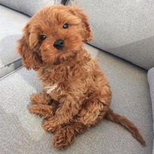 Adorable Cavapoo puppies for adoption Email US (christjohnson204@gmail.com )