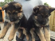 German Shepard Puppies Available