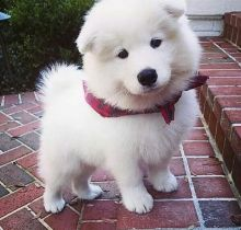 Lovely Samoyed puppies for adoption Email US (christjohnson204@gmail.com )