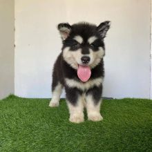 Well trained Alaskan Malamute puppies for adoption Email US (christjohnson204@gmail.com )