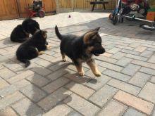 German Shepard Puppies Available Image eClassifieds4U