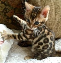 Bengal Kittens available. Call or text @(204) 800-5802