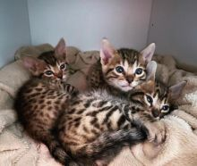 cute bengal kitten for a new home