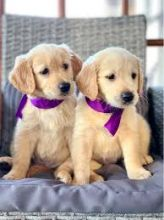 Cute Registered Golden Retriever puppies for adoption. Call or text @(786) 544-5810