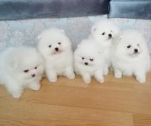 Adorable White Pomeranian Puppy! Ready to go immediately