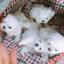 Maltese Puppies Seeking new homes Email me via merrymaltesepuppies@gmail.com