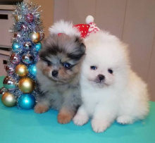 Teacup Pomeranian Puppies For Adoption