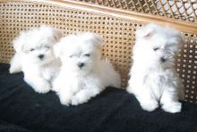 Pure White Maltese Puppies for New Homes Email me via>> merrymaltesepuppies@gmail.com