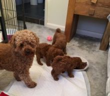 Toy Poodle Puppies Available Adopters Email me via gimeranez@gmail.com