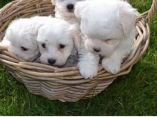 Maltese Puppies Seeking new homes Email me via merrymaltesepuppies@gmail.com Image eClassifieds4u 1