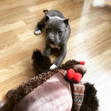 Blue nose Pit bull puppies for adoption Image eClassifieds4u 1