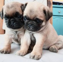 Joyful Pug puppies ready for rehoming