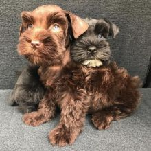 Registered Schnauzer Puppies ready for their forever new home