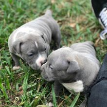 stunning Blue nose pitbull puppies ready for adoption