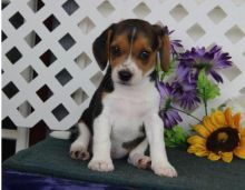 ♥♥♥ Adorable Beagle Pu.pp.ies For Adoption ♥♥ [baldsandhar@gmail.com]